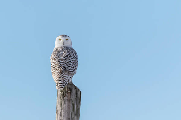 Photograph - Snowy Owl 2018-6 by Thomas Young