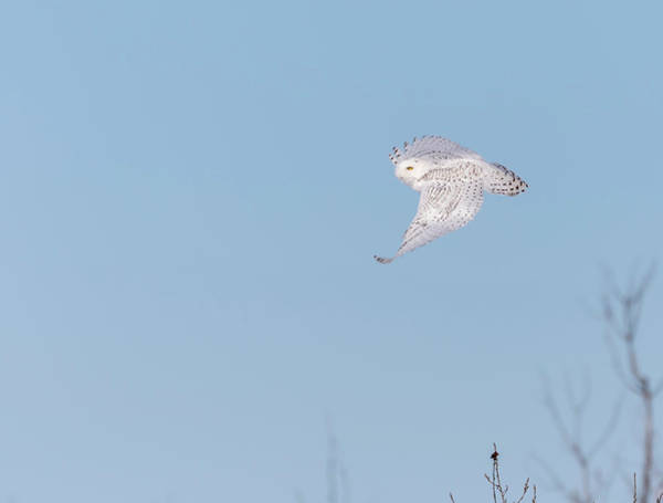 Photograph - Snowy Owl 2018-7.jpg by Thomas Young