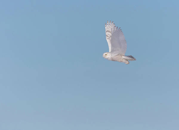 Photograph - Snowy Owl 2018-8 by Thomas Young