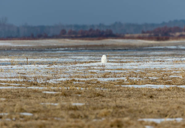 Photograph - Snowy Owl 2018-9 by Thomas Young
