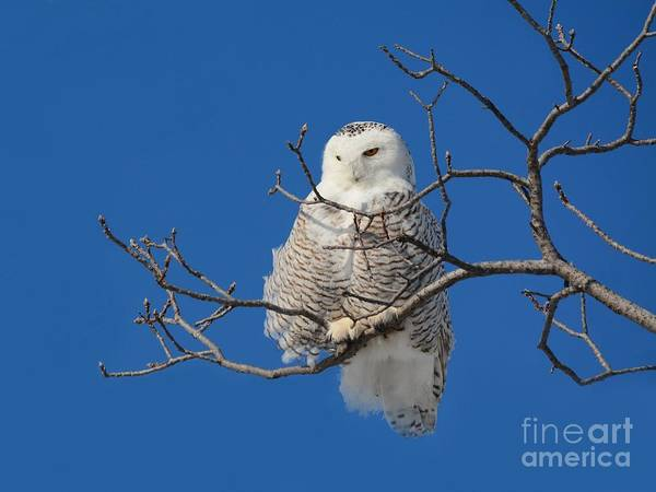 Photograph - Snowy Owl 7 by Charles Owens