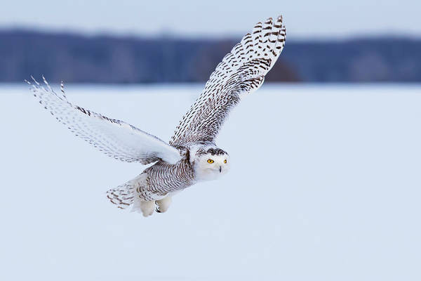Wall Art - Photograph -  Snowy Owl Hunting by Mircea Costina Photography