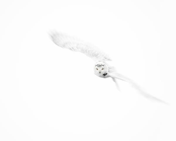 Photograph - Snowy Owl In Flight by Gigi Ebert