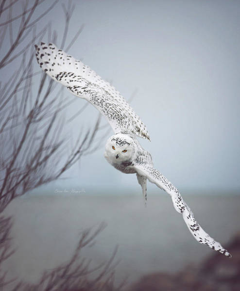 Wall Art - Photograph - Snowy Owl In Flight Signed by Carrie Ann Grippo-Pike