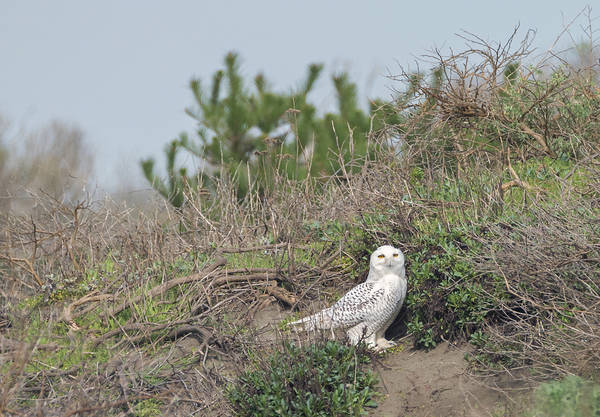 Photograph - Snowy Owl In The Dunes by Loree Johnson