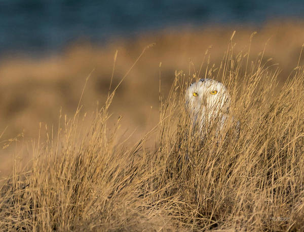 Photograph - Snowy Owl In The Grass by Judi Dressler