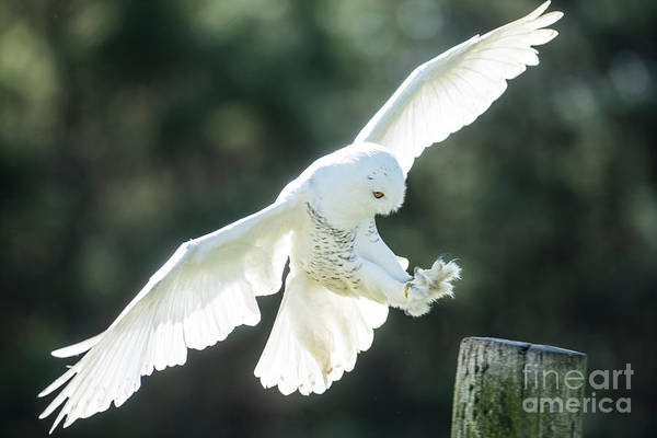 Photograph - Snowy Owl Landing-2755 by Steve Somerville