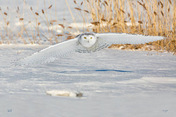 Photograph - Snowy Owl On The Hunt by Dale J Martin