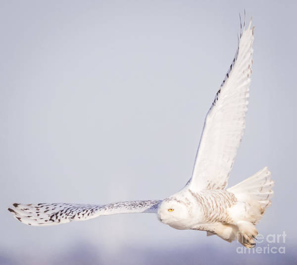 Photograph - Snowy Owl On The Lookout  by Ricky L Jones