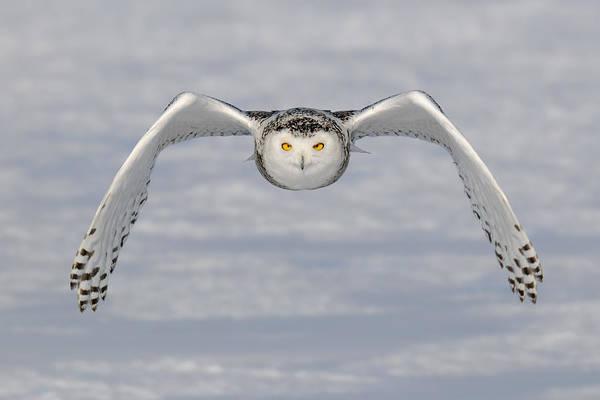 Snowy Owl Wall Art - Photograph - Snowy Owl by Scott  Linstead