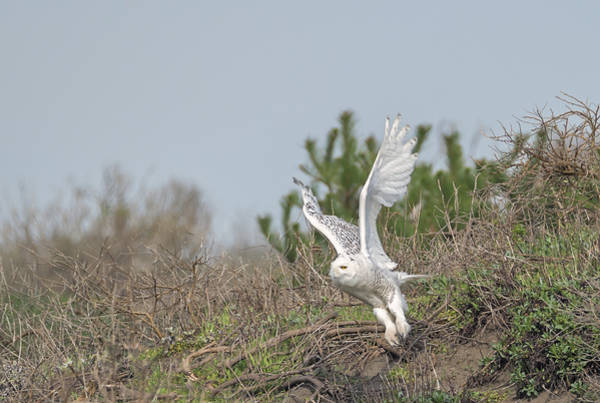 Photograph - Snowy Owl Takes Flight by Loree Johnson