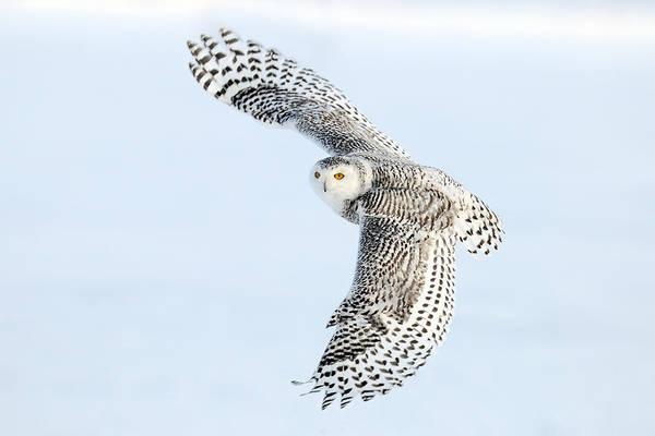 Snowy Owl Wall Art - Photograph - Snowy Owl Topside by Scott  Linstead