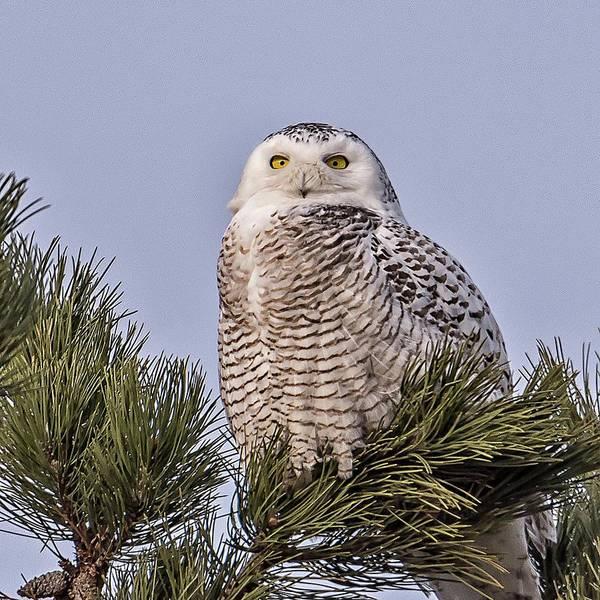 Wall Art - Photograph - Snowy Owl by Winnie Chrzanowski