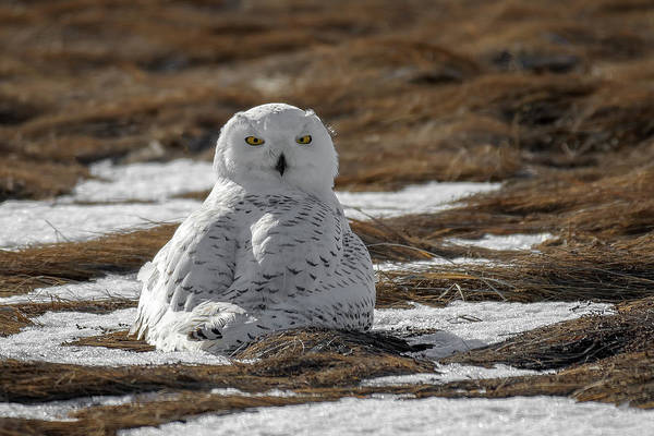 Photograph - Snowy Owl,marsh by Michael Hubley