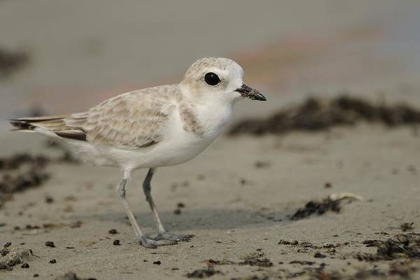 Photograph - Snowy Plover At Jetty Park by Bradford Martin