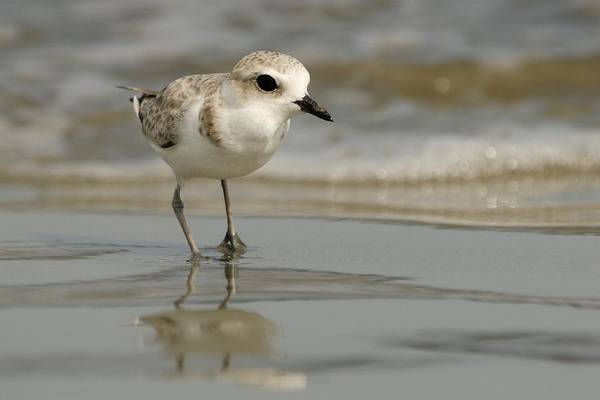 Photograph - Snowy Plover At Ocean Shore by Bradford Martin