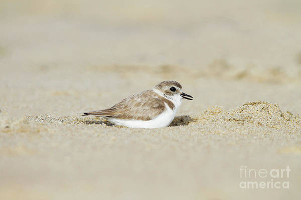 Wall Art - Photograph - Snowy Plover In The Sand by Ruth Jolly