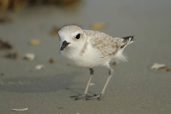 Photograph - Snowy Plover On Thebeach by Bradford Martin