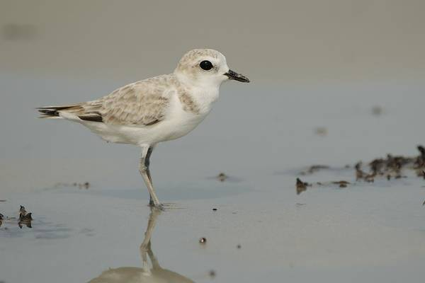 Photograph - Snowy Plover With Feet Wet by Bradford Martin