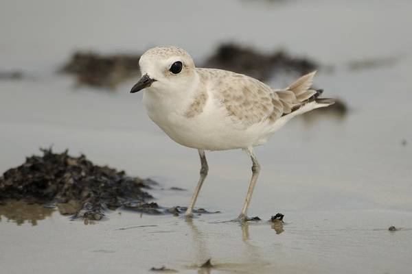 Photograph - Snowy Plover With Sargassum Wrack by Bradford Martin