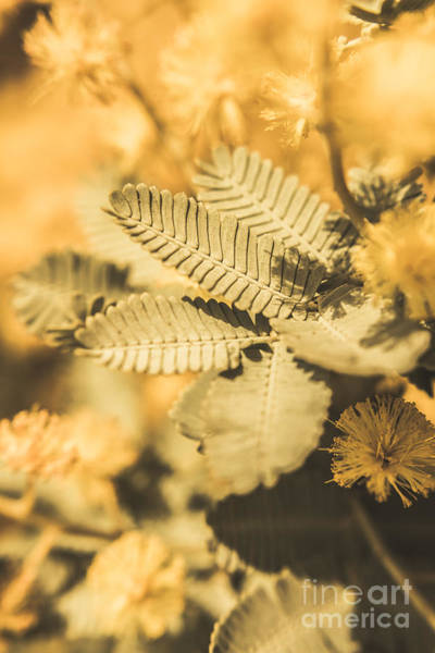Native Plant Photograph - Snowy River Wattle by Jorgo Photography - Wall Art Gallery