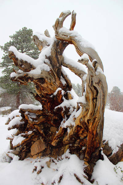 Photograph - Snowy Roots 2 by Shane Bechler