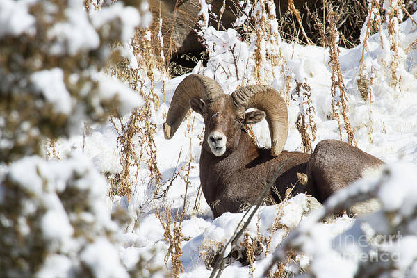 Photograph - Snowy Sentinel by Jim Garrison