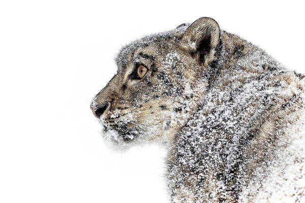 Photograph - Snowy Snow Leopard by Wes and Dotty Weber
