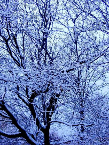 Photograph - Snowy Trees by Beth Akerman