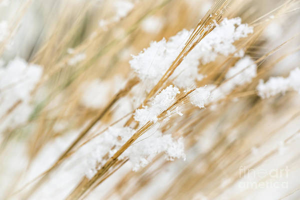 Weeds Photograph - Snowy Weed by Delphimages Photo Creations