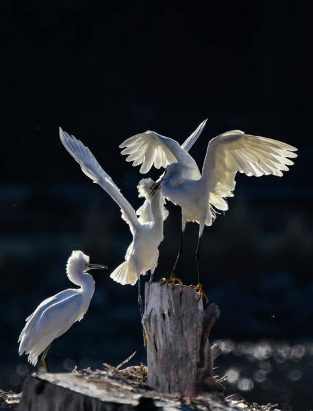 Photograph - Snowy White Egrets 2 by Rick Mosher