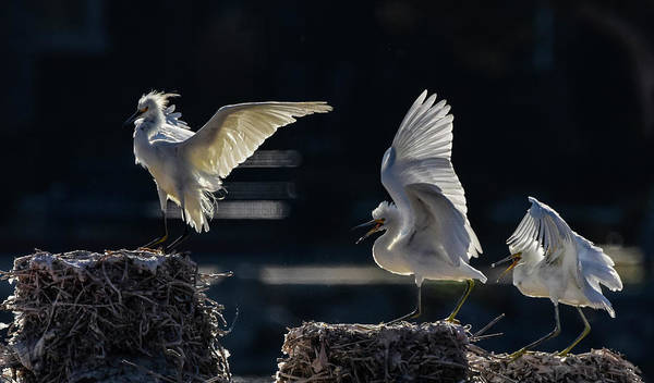 Photograph - Snowy White Egrets 3 by Rick Mosher