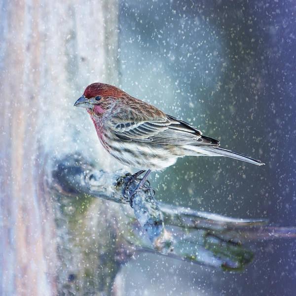 Wall Art - Photograph - Snowy Winter Finch by Bill Tiepelman