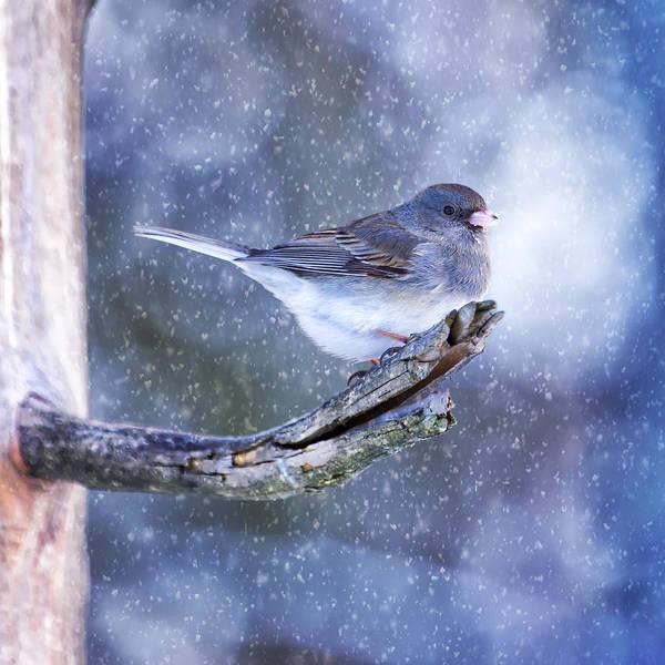 Dark Eyed Junco Photograph - Snowy Winter Junco by Bill Tiepelman