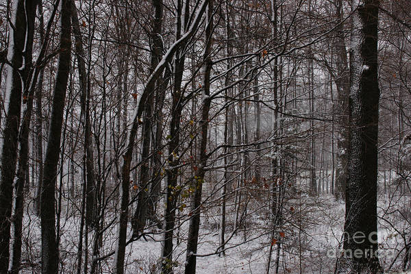Photograph - Snowy Woods by Linda Shafer