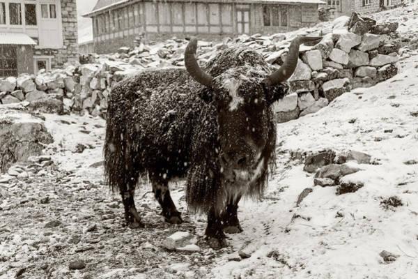Gokyo Photograph - Snowy Yak by Yuka Ogava