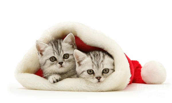 Photograph - Snuggle Down Santa's Silver Kittens by Warren Photographic