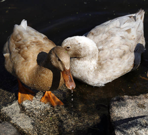 Duck Hunt Photograph - Snuggles by Marilyn Hunt