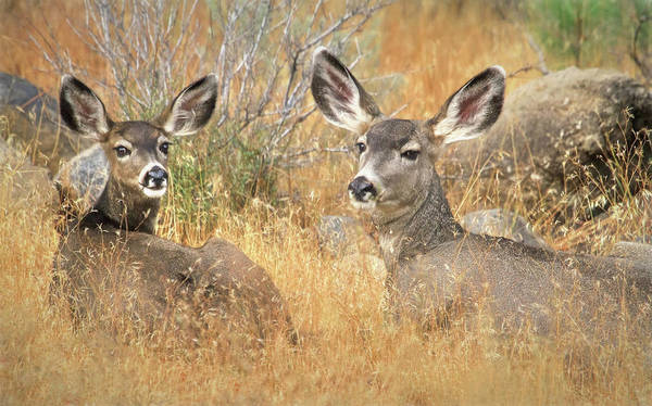 White Tailed Deer Photograph - So Much For Your Secret Place... by Donna Kennedy