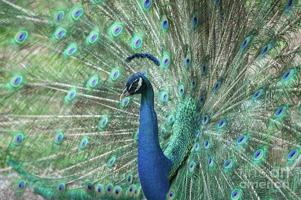 Photograph - So Pretty Peacock by Sabrina L Ryan