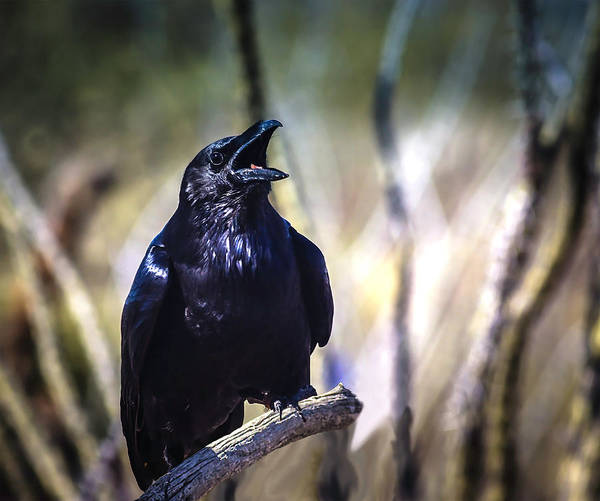 Photograph - So Spoke The Raven by Mike Stephens