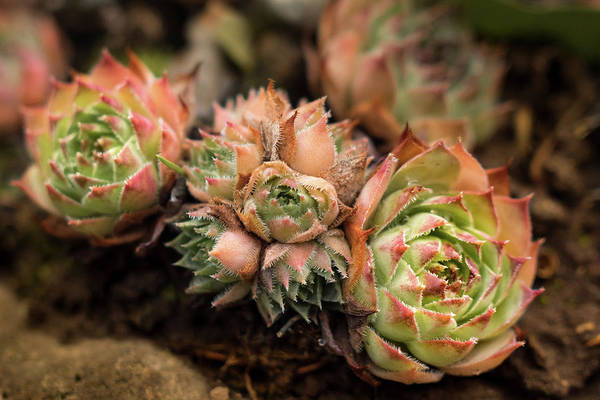 Photograph - So Succulent by Crystal Hoeveler