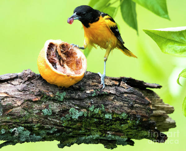 Photograph - Soaking Wet Baltimore Oriole At The Feeder by Ricky L Jones