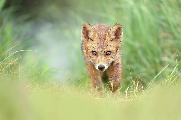 Wall Art - Photograph - Soaking Wet Fox Kit by Roeselien Raimond