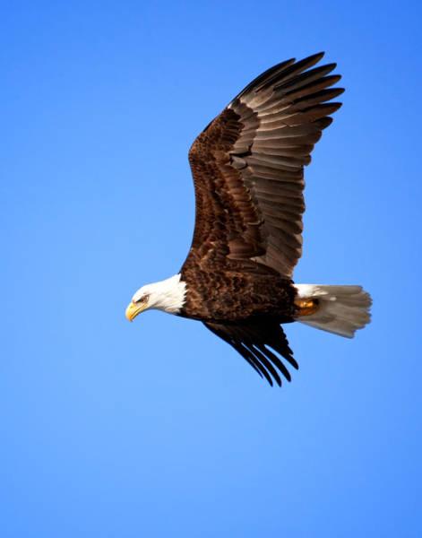 Wall Art - Photograph - Soaring Bald Eagle by Al  Mueller