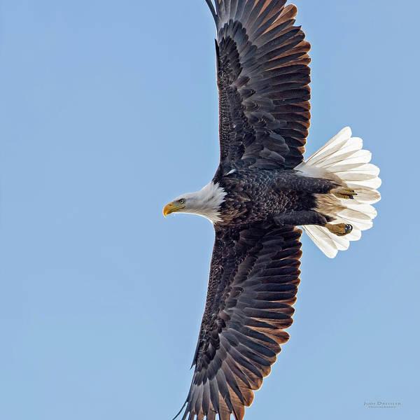 Photograph - Soaring Bald Eagle by Judi Dressler