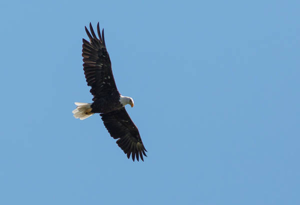 Photograph - Soaring Bald Eagle by Kevin McCarthy