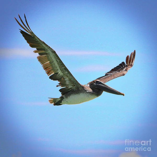 Wall Art - Photograph - Soaring Brown Pelican With Vignette by Carol Groenen