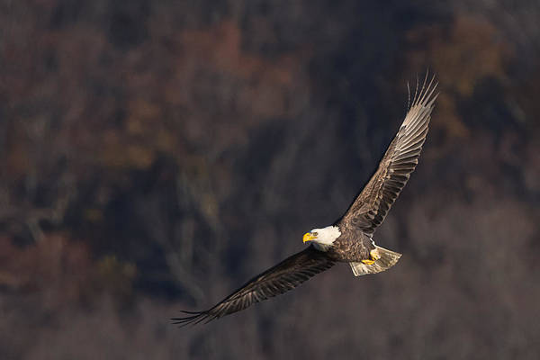 Photograph - Soaring by Cindy Lark Hartman