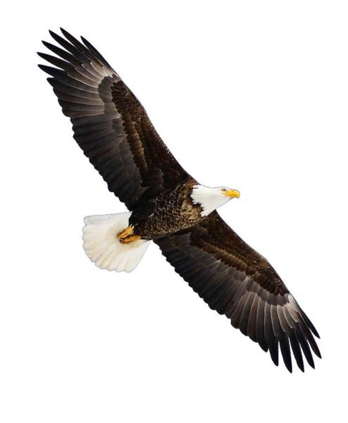 Photograph - Soaring Eagle by Greg Norrell